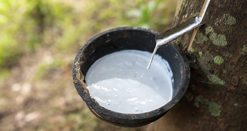 膠樹劃開抽取樹液過程